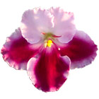 Bi-color Red African Violet from Optimara