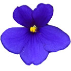 Blue/Dark Purple African Violets